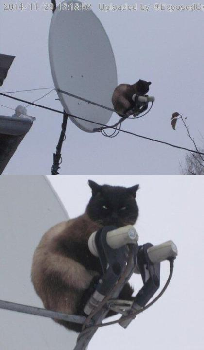 antennacat
