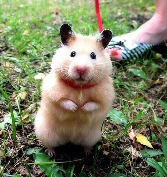 hamster_cute (3)