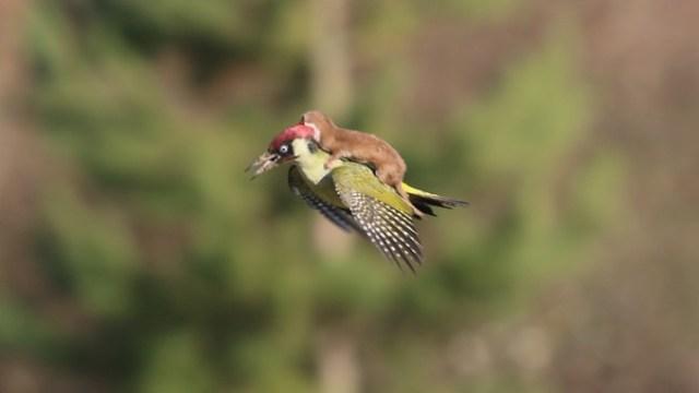 woodpecker_itati (1)