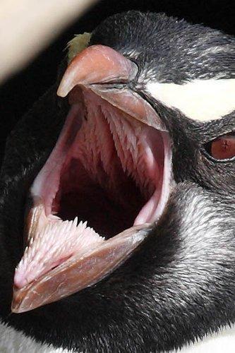 このようにペンギンの口の中は剣山みたいになっているのだ。この衝撃の事実はほとんどの人が知らなかっただろう。見た目が完全に凶器なこの構造は実は重要な役割を持っ