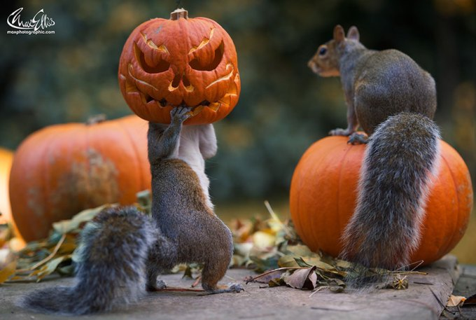 1111squirrel_pumpkinsquirrel-steals-carved-pumpkin-max-ellis-1