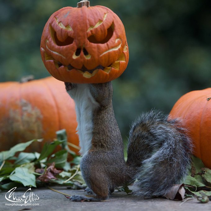 1111squirrel_pumpkinsquirrel-steals-carved-pumpkin-max-ellis-3