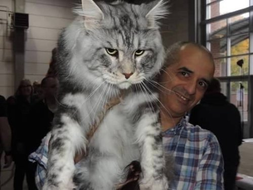 1129maine_coon12