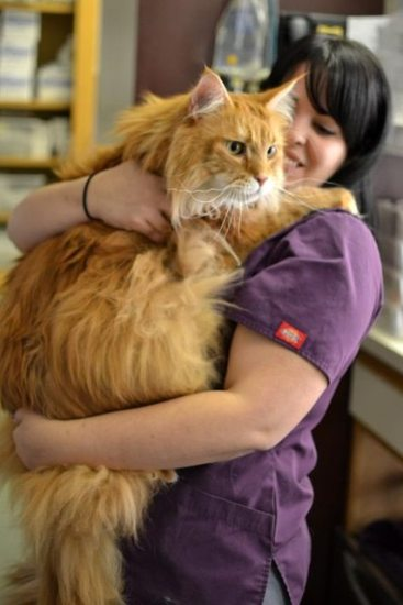 1129maine_coon15