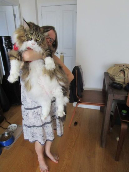 1129maine_coon8