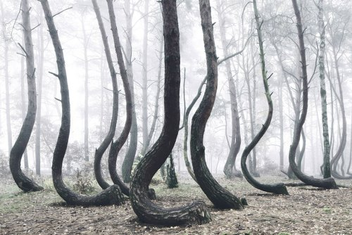 crooked_tree4