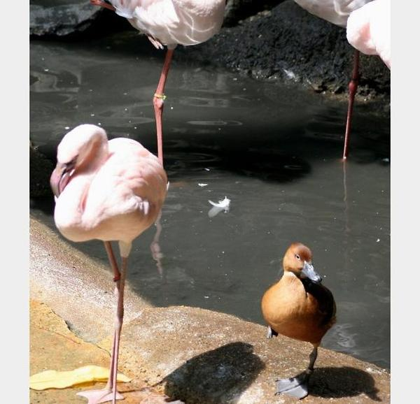 flamingo_duck (5)