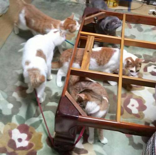 cat_kotatsu4