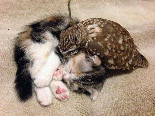 cat_owl2