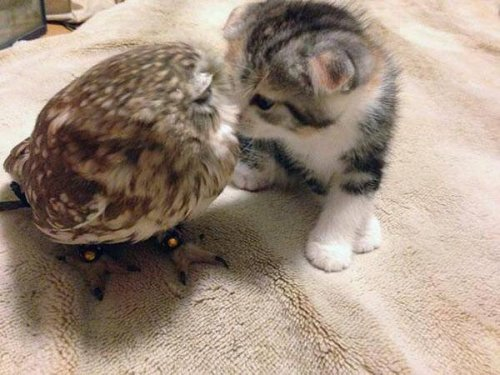 cat_owl4