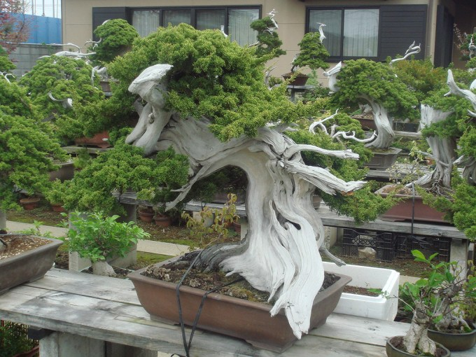 bonsai_unique (12)