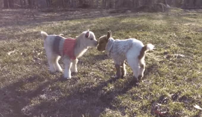 goat_sweater10
