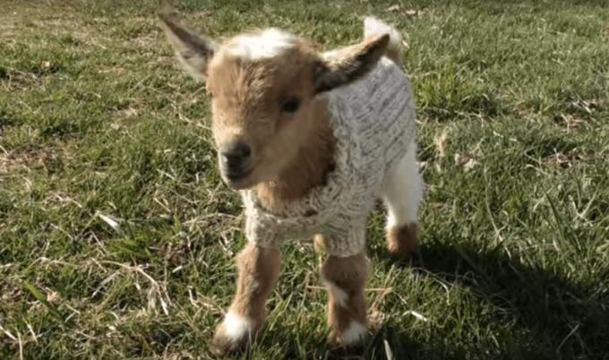goat_sweater8