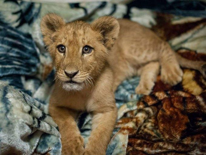 lion_mohu2