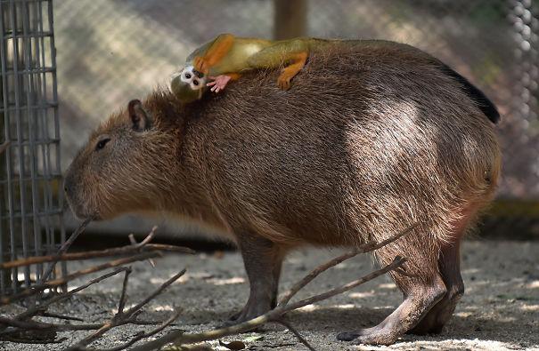 lovely_capybara (1)