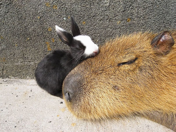 lovely_capybara (11)