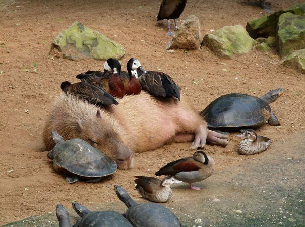 lovely_capybara (9)