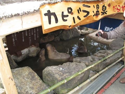 capybara_himejicentrapark8
