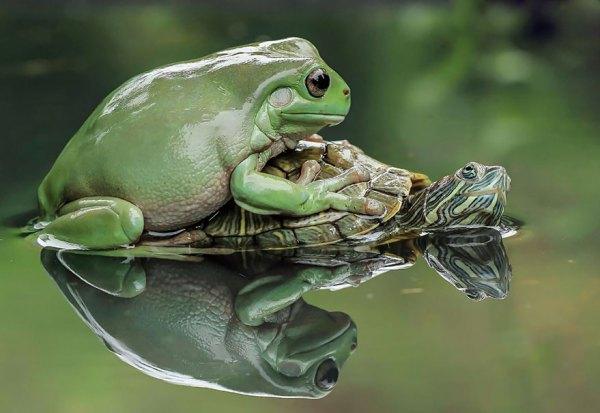 tantoyensen-frog-3