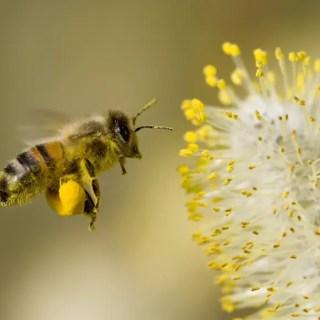 मधु मक्खी और पर्यावरण