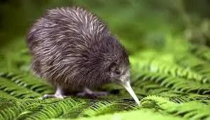 न्यूजीलैंड का अनोखा पक्षी कीवी