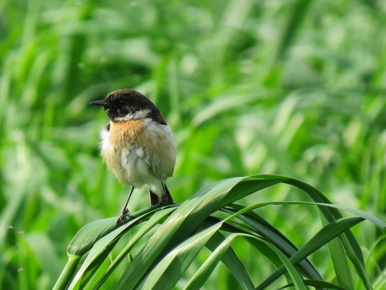 Common Stonechat hindi, stonechat hindi, stonechat bird hindi, खरपिड्डा, पाषाण गोजा, himalaya birds hindi, birds of himalaya hindi, Saxicola torquatus hindi
