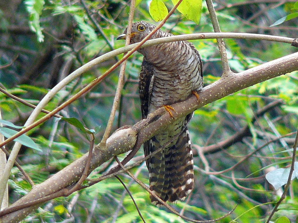 cuckoo hindi, cuckoo jankari, koyal ki jankari, indian koyal, indian cuckoo hindi, brood parasite hindi, parasite bird hindi,