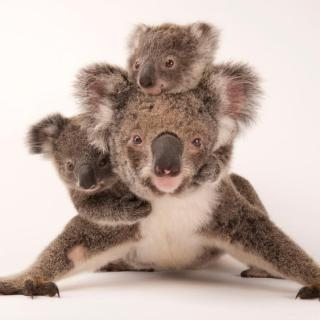 कोआला बीयर, Koala Bear in Hindi,Marsupial, Australian,