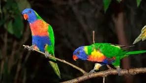 Rainbow lorikeet in hindi