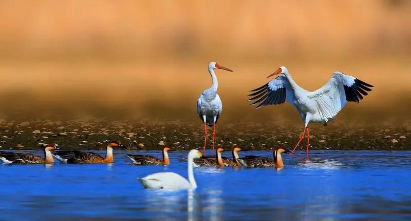 हजारों मील उड़कर भारत आतें हैं यह सुन्दर प्रवासी पक्षी