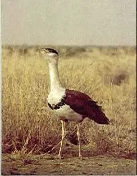 ग्रेट इंडियन बस्टर्ड जिसे की सोन चिरैया के नाम से जाना जाता है भारत का एक शानदार पक्षी है परंतु यह दुख की बात है कि अब केवल 150 ग्रेट इंडियन बस्टर्ड ही बचे हैं यह प्रजाति विलुप्ति के कगार पर है तथा अति संकटग्रस्त प्रजाति की श्रेणी में रखी गई है.