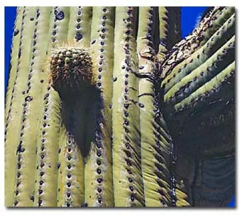 adaptations in cactus in hindi, cactus adaptation hindi, cactus me anukulan, adaptation for desert, desert adaptation hindi, registani anukulan