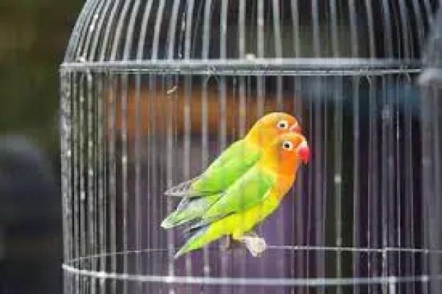 Love birds care in hindi, paltu love birds care, care of pet love birds hindi, pet love birds in hindi, how to take care of love birds in hindi, love birds kya khate he, kya love birds ko, love birds kis tapman me, love birds ka pinjra,