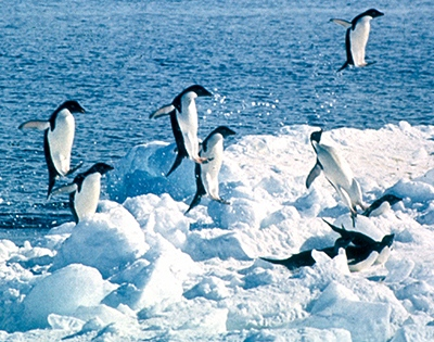 penguin adaptation hindi, penguin me anukulan, anukulan, antarctic anukulan, penguin habitat hindi, habitat adaptation, penguin adaptation, penguin in hindi, penguin ki jankari, penguin facts, penguin pakshi