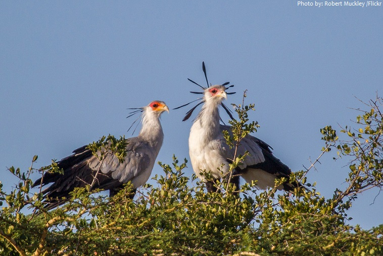secretary bird hindi, secretary bird ki jankari, essay on secretary bird hindi, hindi essay on desert bird, national bird of sudan, sudan ka rashtriya pakshi,