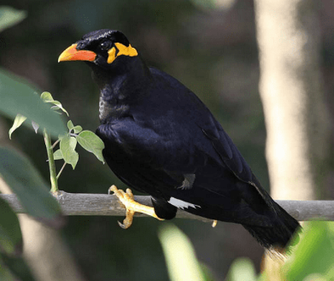 state bird of chhattisgarh hindi, chhattisgarh state bird hindi, chhattisgarh rajy pakshi, rajy pakshi chhattisgarh, chhattisgarh ka rajy pakshi kon sa he, essay on chhattisgarh state bird, essay on hill myna hindi, essay on hill mynah, hill myna in hindi, hill myna ki jankari, hill mynah ki jankari, pahadi myna in hindi, pahadi mynah in hindi