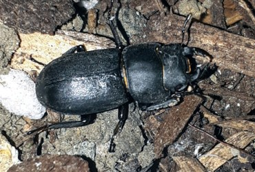 lesser stag beetle