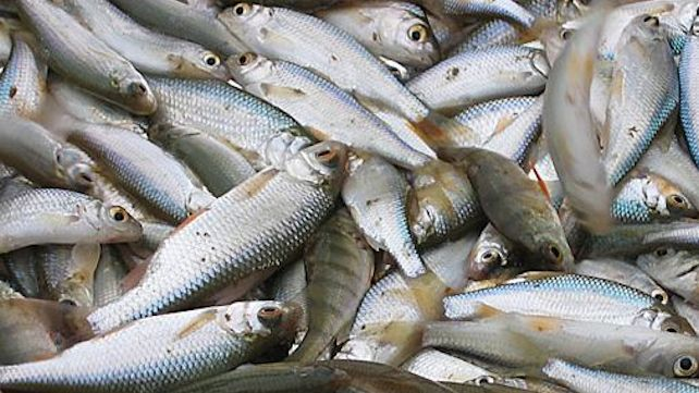 pêche ablette rivière