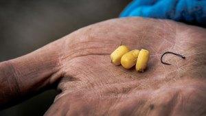 Carpe au coup au maïs un classique à l'hameçon