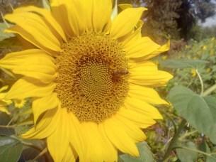 Wiko-Wax-Sonnenblume_HDR