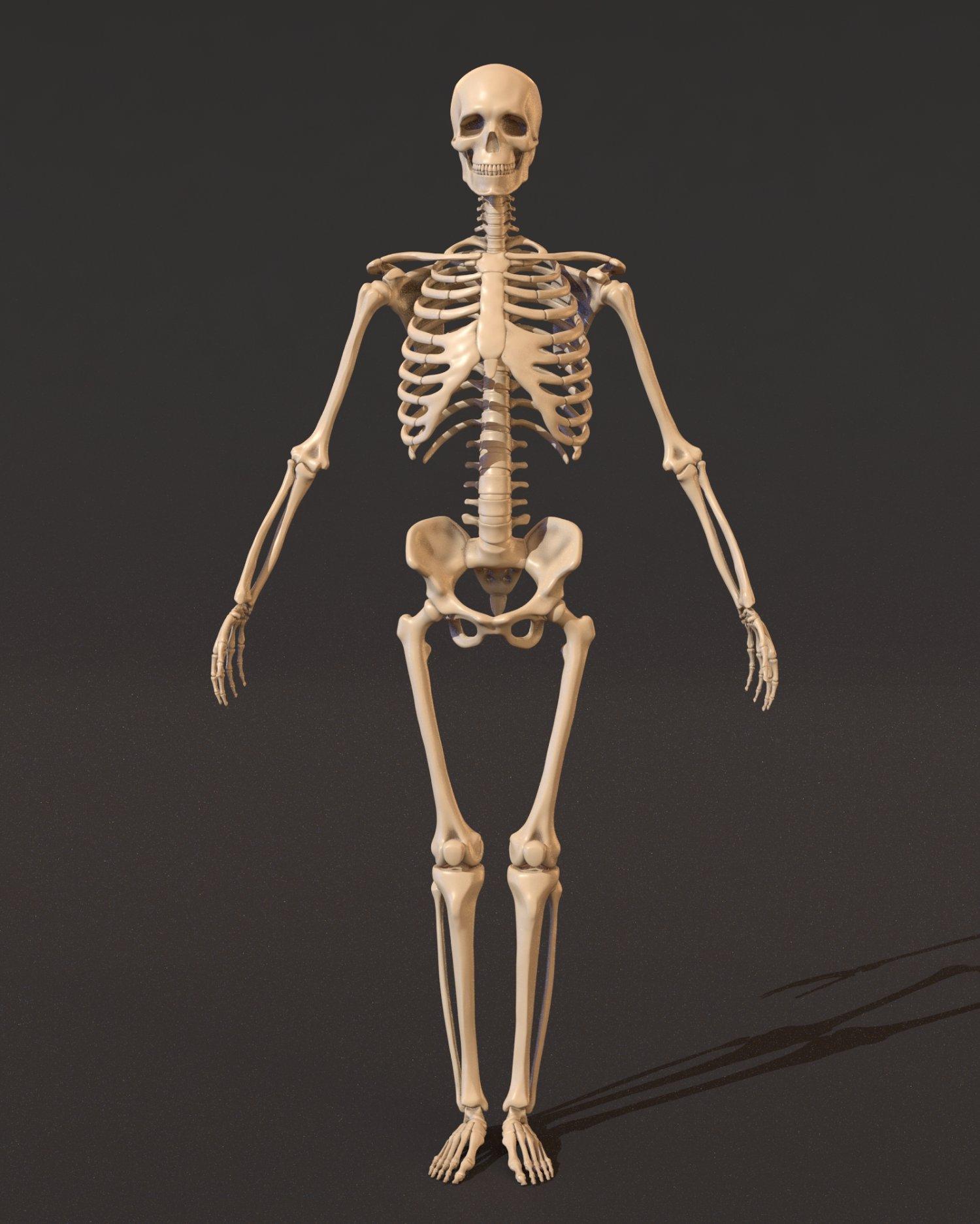 Human Skeleton 3d Model In Anatomy 3dexport