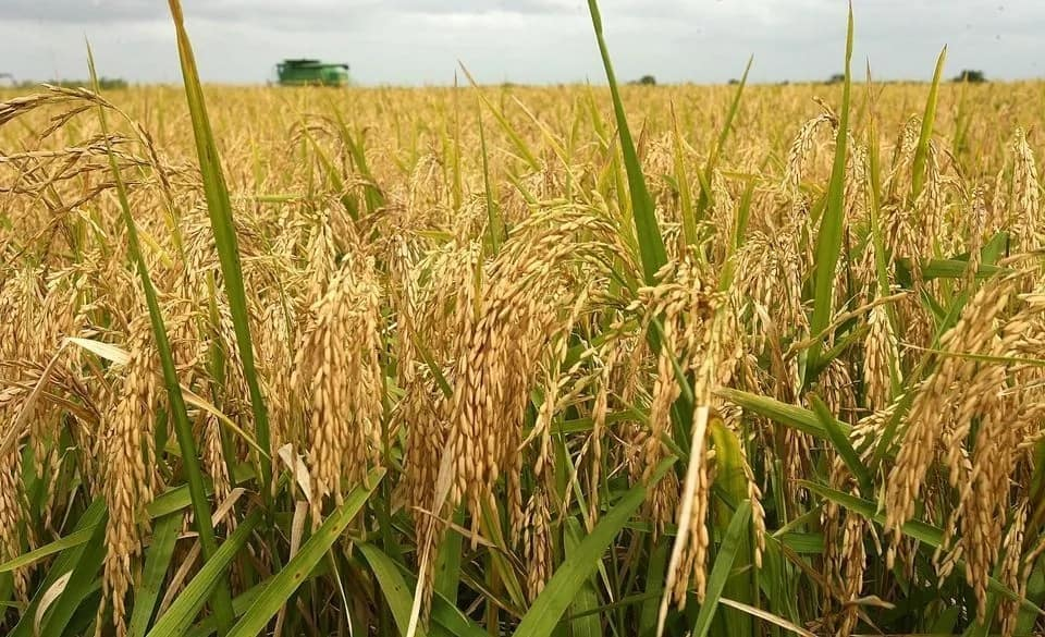 Afghanistan Heads Towards Self Sufficiency In Rice Production – Ministry