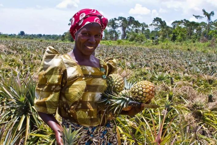 Image result for pineapple farming in nigeria