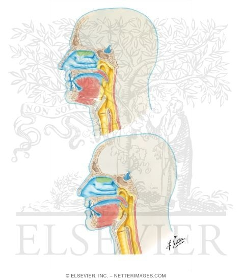 Development Of The Upper Respiratory System Adult