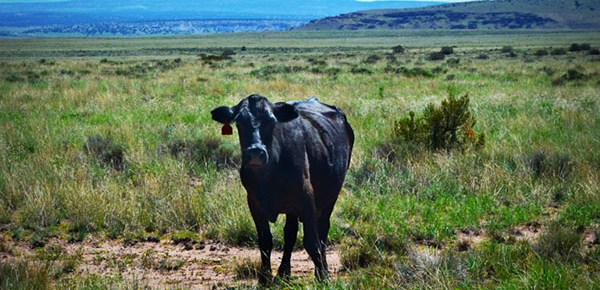 Ranch Revue: Cows in the Road