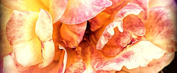Roses from Elsie McCarthy's Sensory Garden – 2/8