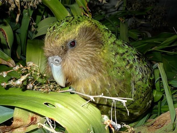 Portait eines Kakapos