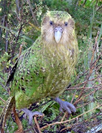 Sirocco ist das Aushängeschild des Kakapo-Schutzes