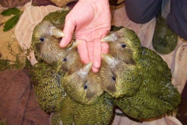 Fünf Kakapo-Küken verbeißen sich mit ihren Schnäbeln an einer offen gehaltenen Hand.