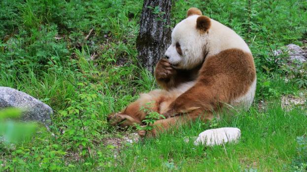 herumsitzender braun-weißer Panda